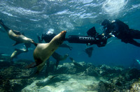 Christophe Bailhache navigates the SVII camera through alarge group of Sea Lions at Champion Island in Galapagos.Image courtesy of the Catlin Seaview Survey.